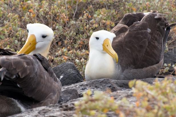 Brunner_Albatross Pair