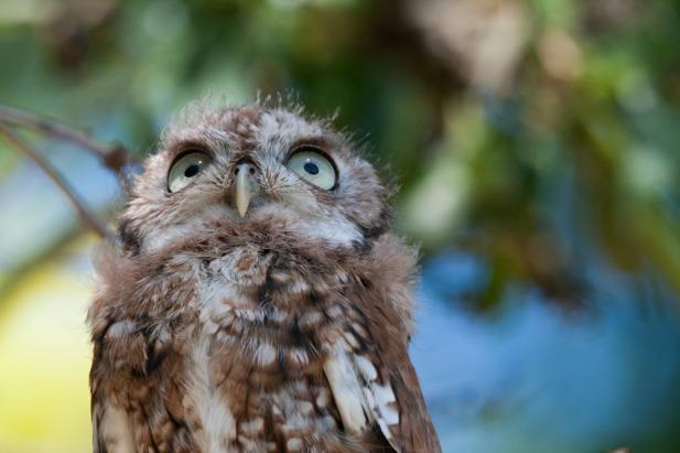 screech-owl-2
