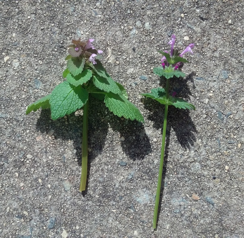Henbit and purple nettle